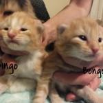 kociaki-bingo-bongo
